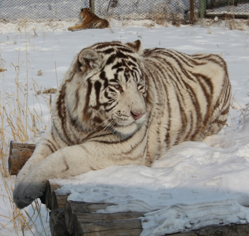Beautiful White Siberian Tiger.  Quite Rare!