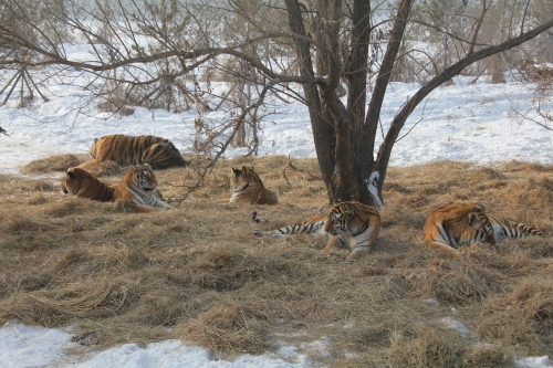 So many tigers here......