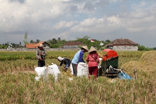 Locals harvesting the rice.