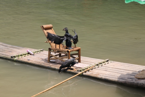 The cormorants who put on quite the fishing show!